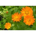 Hidrolat Neven (Calendula officinalis)